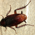 Photos: 壁にいたゴキブリ - 4