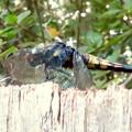 Photos: シオカラトンボのメス - 1