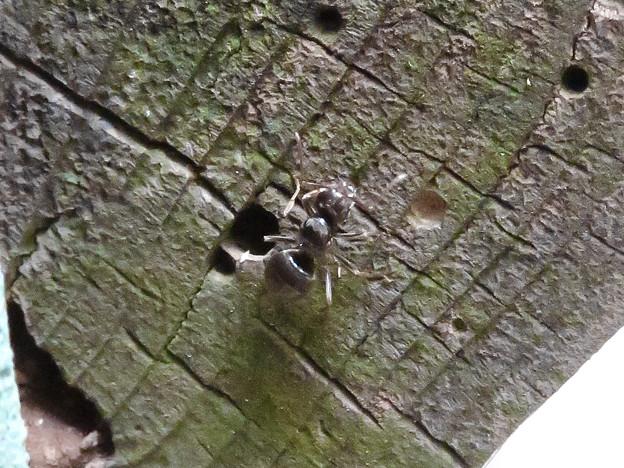 木の小さい穴を巣代わりに使ってる?アリ - 6