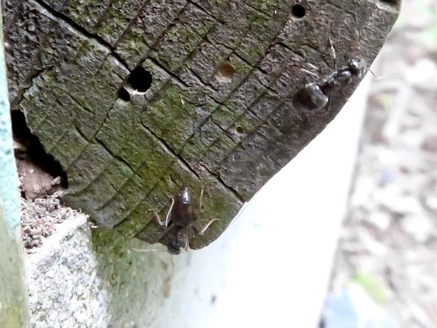 木の小さい穴を巣代わりに使ってる?アリ - 9