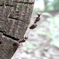 Photos: 木の小さい穴を巣代わりに使ってる?アリ - 10