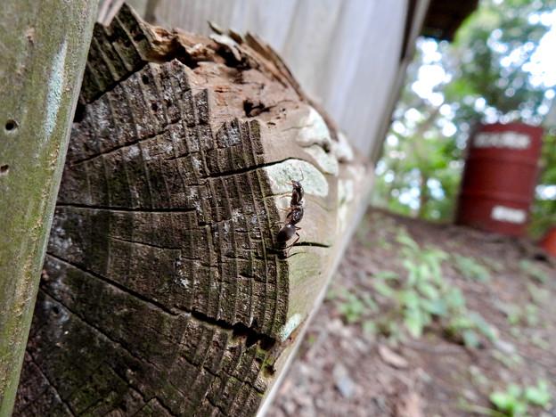 木の小さい穴を巣代わりに使ってる?アリ - 11