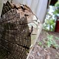 Photos: 木の小さい穴を巣代わりに使ってる?アリ - 11