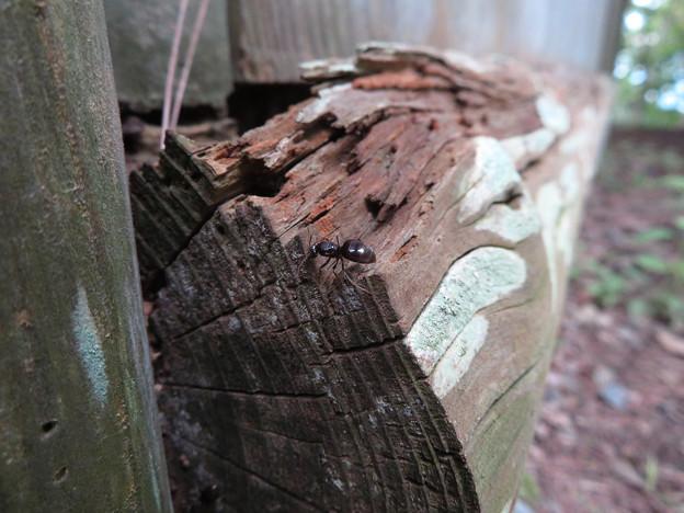 木の小さい穴を巣代わりに使ってる?アリ - 13