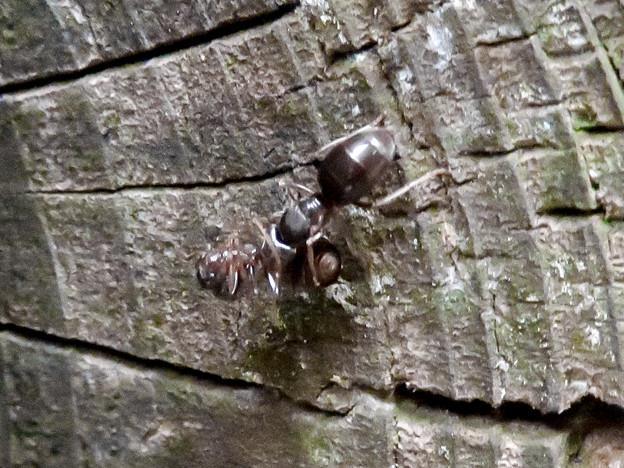 木の小さい穴を巣代わりに使ってる?アリ - 16:ケンカ中?