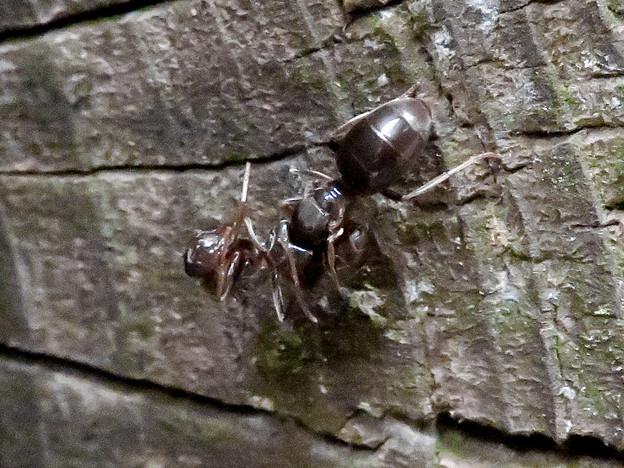 木の小さい穴を巣代わりに使ってる?アリ - 17:ケンカ中?