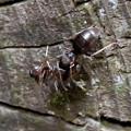Photos: 木の小さい穴を巣代わりに使ってる?アリ - 17:ケンカ中?