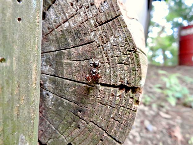 木の小さい穴を巣代わりに使ってる?アリ - 19:ケンカ中?