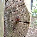 Photos: 木の小さい穴を巣代わりに使ってる?アリ - 19:ケンカ中?