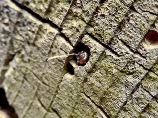 木の小さい穴を巣代わりに使ってる?アリ - 1