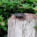 Photos: 弥勒山山頂にいた黒くて白い斑点のある蝶