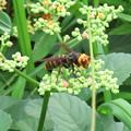 Photos: 蜜を集めてた?ズズメバチ