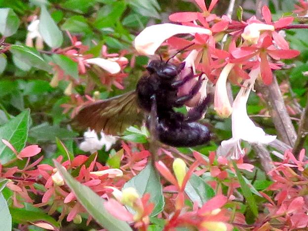外来種のタイワンタケクマバチ - 1
