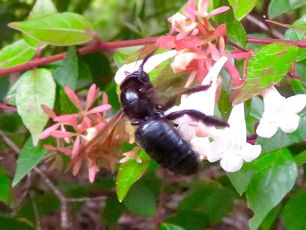 外来種のタイワンタケクマバチ - 4