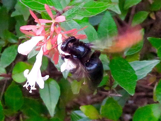 外来種のタイワンタケクマバチ - 5