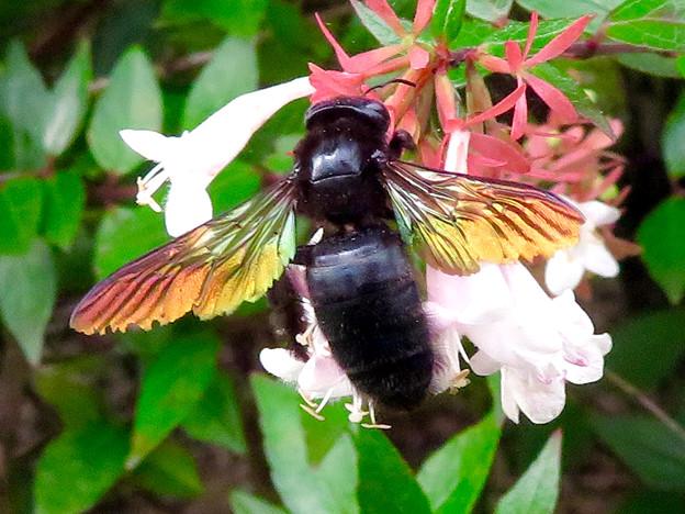 外来種のタイワンタケクマバチ - 7