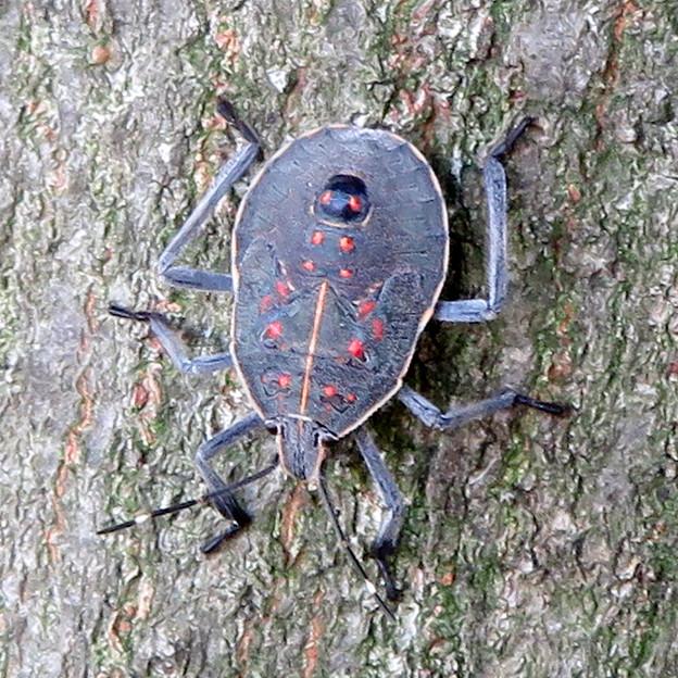 木の上に沢山いたキマダラカメムシの中令幼虫 - 2