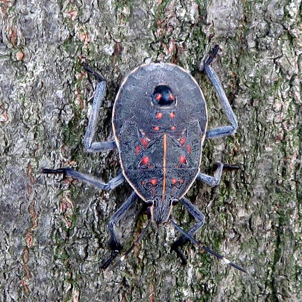 木の上に沢山いたキマダラカメムシの中令幼虫 - 4