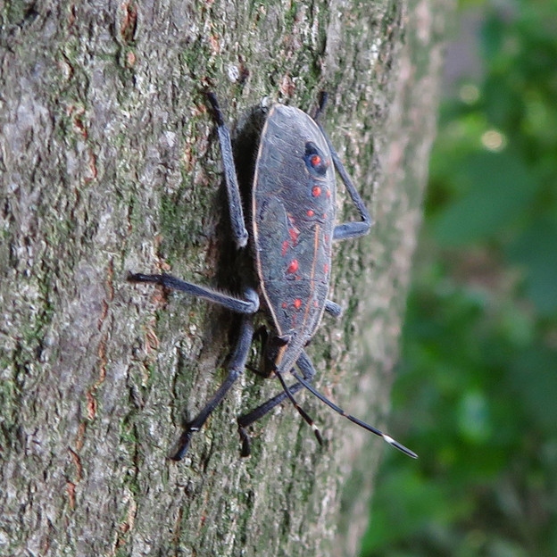 木の上に沢山いたキマダラカメムシの中令幼虫 - 6
