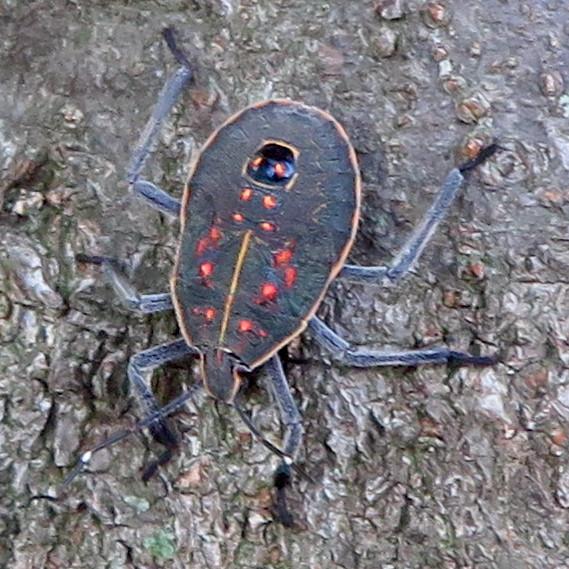 木の上に沢山いたキマダラカメムシの中令幼虫 - 8