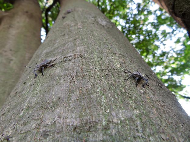 木の上に沢山いたキマダラカメムシの中令幼虫 - 13