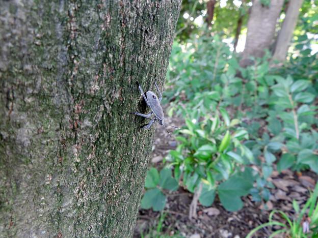 木の上に沢山いたキマダラカメムシの中令幼虫 - 15