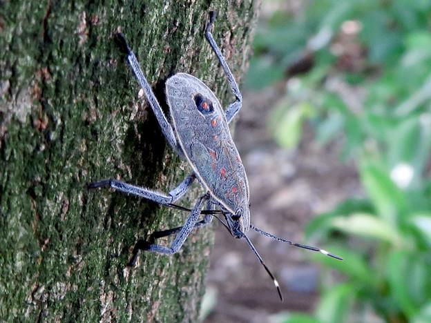 木の上に沢山いたキマダラカメムシの中令幼虫 - 16
