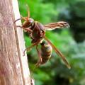 Photos: 東谷山山頂にいた小型のアシナガバチ? - 3