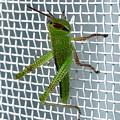 網戸にいたイナゴの幼虫 - 1