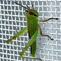網戸にいたイナゴの幼虫 - 2