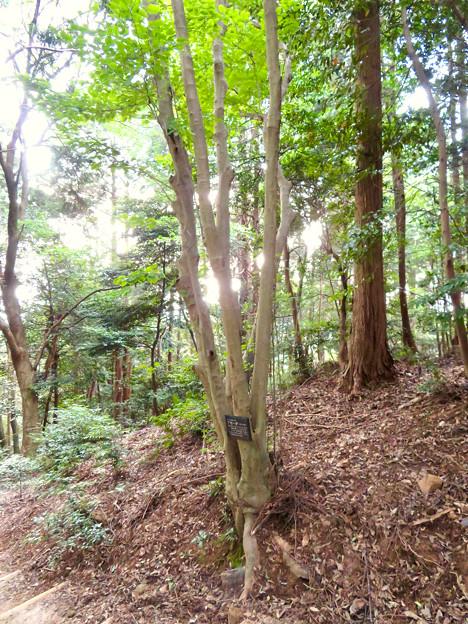 東谷山に生えているアオハダの木 - 2