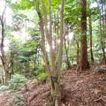 Photos: 東谷山に生えているアオハダの木 - 2