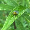 雨露残る草の上にいたテングスケバ - 3