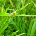 雨露残る草の上にいたテングスケバ - 5