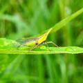 雨露残る草の上にいたテングスケバ - 6