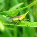 雨露残る草の上にいたテングスケバ - 10