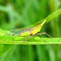 雨露残る草の上にいたテングスケバ - 8