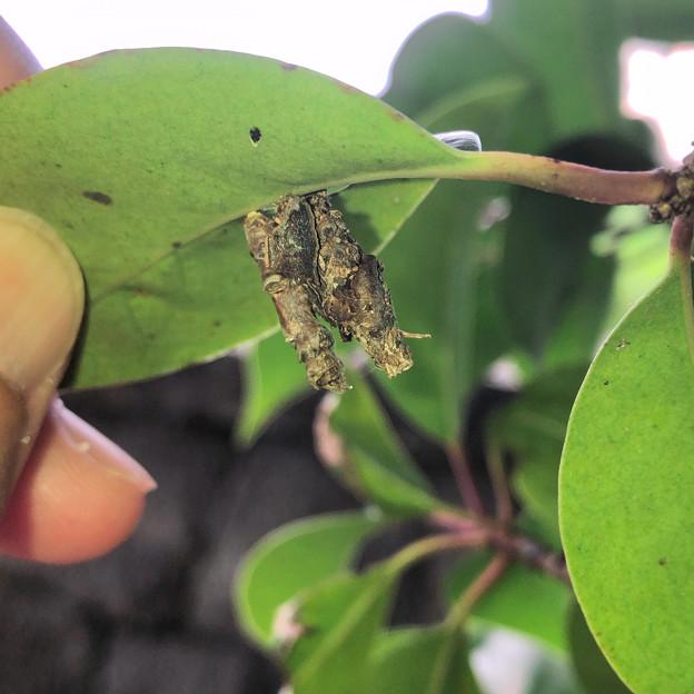 葉っぱの裏に並んでくっ付いてたミノムシ - 1