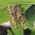 Photos: 葉っぱの裏に並んでくっ付いてたミノムシ - 2
