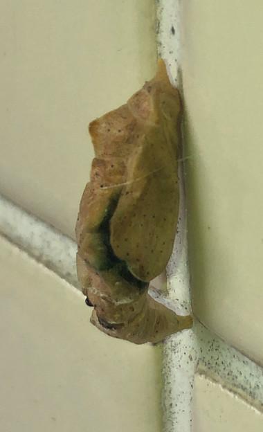 トイレの壁にくっついてたサナギ
