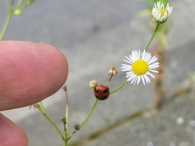 花とナミテントウ - 1