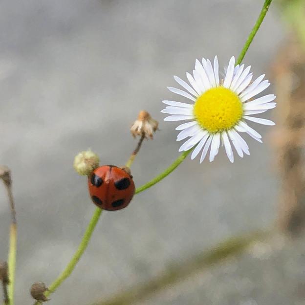花とナミテントウ - 2
