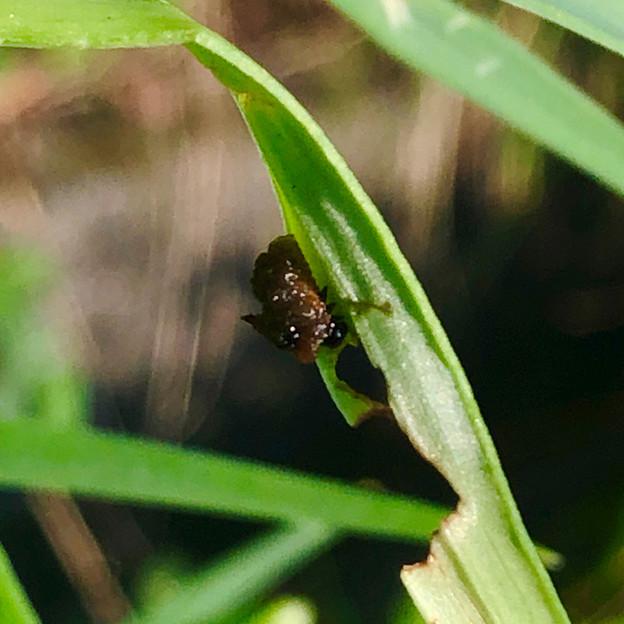 道路沿いの草を食べていたユリクビナガハムシの幼虫? - 2