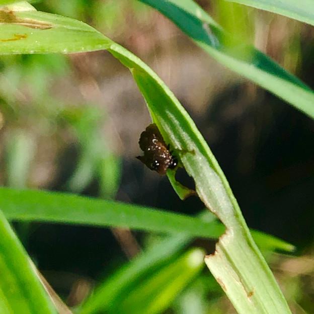 道路沿いの草を食べていたユリクビナガハムシの幼虫? - 3