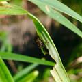 道路沿いの草を食べていたユリクビナガハムシの幼虫? - 1