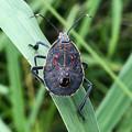 草むらにいたキマダラカメムシの幼虫 - 2