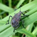 草むらにいたキマダラカメムシの幼虫 - 3
