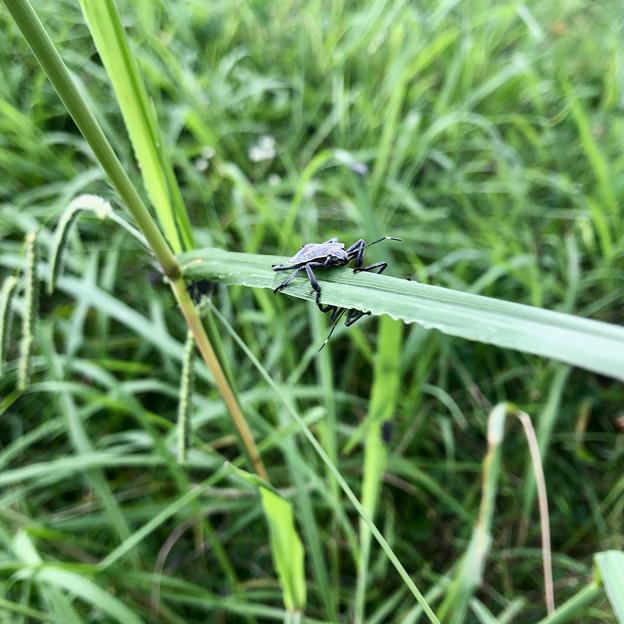 草むらにいたキマダラカメムシの幼虫 - 4