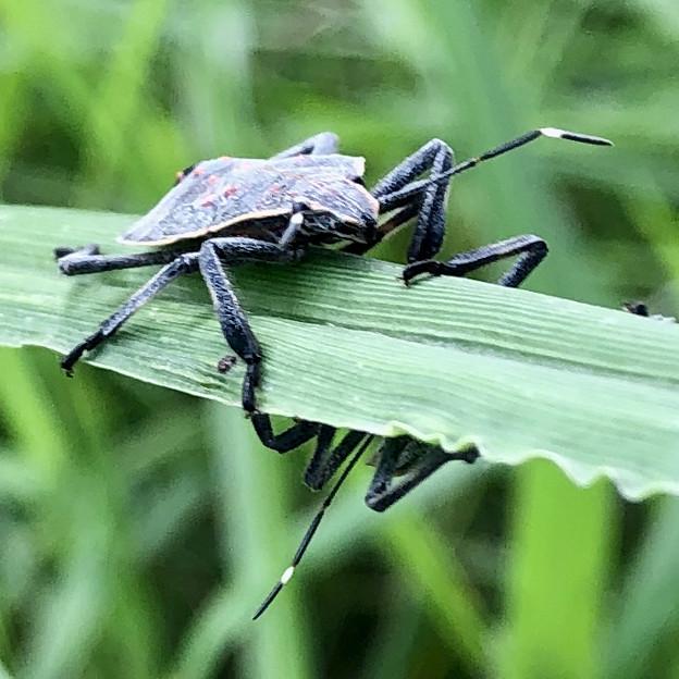 草むらにいたキマダラカメムシの幼虫 - 5