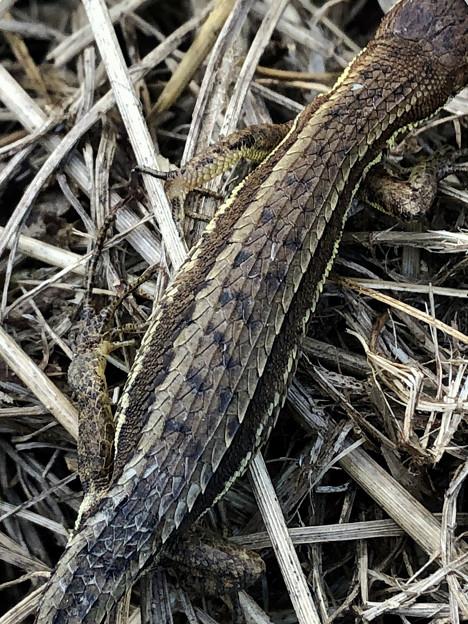 小さいけれど立派な鱗のあるカナヘビ - 2